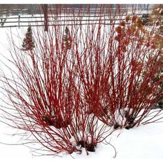 Arctic Fire Dwarf Red-twig Dogwood                                                                                                                                                                                 More
