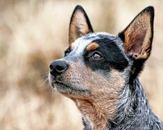 Australian Cattle Dog - Cachorros mais inteligentes do mundo