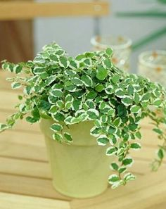 15-plants-that-grow-without-sunlight - Creeping Fig. This plant has dark and glossy foliage, which makes it a very classy and elegant plant. It will grow quite a bit, so keep an eye on it!