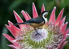 Eastern Spinebill on King Protea. - photo by Greg Miles Flor Protea, Protea Flower, Protea Plant, Most Beautiful Animals, Beautiful Birds, Pretty Birds, Love Birds, Birds 2, Kinds Of Birds