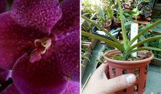 Orquídea vanda Pat Delight red Jovem - comprar online