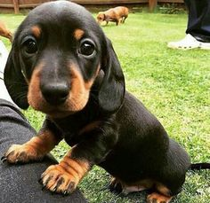 30 Reasons Why You Absolutely Must Have A Dachshund Pup. - Page 5 of 30 - Barmy Pets Dachshund Puppies, Cute Dogs And Puppies, Baby Dogs, I Love Dogs, Doggies, Wiener Dogs, Daschund, Baby Weiner Dogs, Cute Animals Puppies