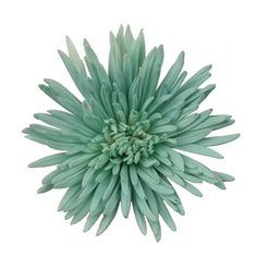 Aquamarine Airbrushed Spider Mum Flowers are a lively tinted aqua colored firework shaped bloom, which adds both depth and exploding texture to your event flowers. Each stem has a single head with long, tubular outer petals and a bulb-like center. This sharp color is perfect for a pastel themed wedding or outdoor event when paired with FiftyFlowers stems like Peony Rose Bridal Piano and white anemones.