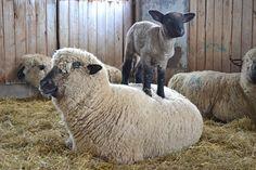 Hampshire Down - Gorgeous Flock - lambing 2013 Hampshire Sheep, Farm Animals, Cute Animals, Suffolk Sheep, Cutest Animals On Earth, Grazing Animals, Sheep Crafts, Sheep Art, Cute Sheep