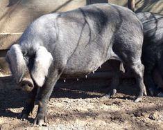 ♥ ~ ♥ Pigs ♥ ~ ♥ The Black pig breed Large Black Pig, Raising Farm Animals, Pig Breeds, Farm Projects, Barnyard Animals, Four Legged, Livestock, Farm Life, Cattle