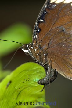 Great Eggfly Butterfly (Hypolimnas bolina) laying eggs on leaf