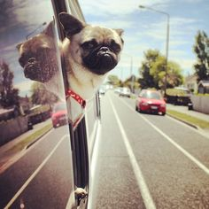 Mr. Pug goes for a ride