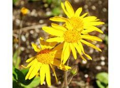 Arnica Seeds Herbaceous perennial for cold and hardy zones. Sow within a mix of loam, peat moss, and sand in the spring. Likes acid pH, full sun, moisture, and a high altitude. Used for sprains, bruises, soaks, compresses, and as an ingredient for salves and oils. 50 seeds/pkt $3.95
