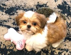 Quality ShihTzu for quality homes for Pets and Therapy dogs. We offer LIFETIME advice for your Glory Ridge ShihTzu. Imperial shihtzu to standard size shihtzu in every color. Shitzu Puppies, Cute Puppies, Cute Funny Dogs, Shih Tzu Dog, Therapy Dogs, Missouri, Pets, Animals, Doggies