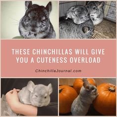These Chinchillas Will Give You A Cuteness Overload