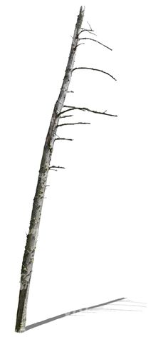 A leafless small tree