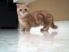 Dwarf cat. If I ever get a cat...these are so cute xD