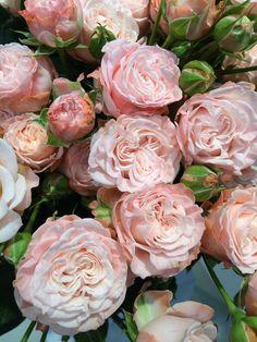 ~Madame Bombastic Roses