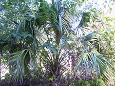 """Well I am not sure what kind of palm this is but it lives in Alabama now.Around 15 years ago I was visiting family in Panama city beach, Florida and she was redoing her back yard, she asked """" do you want a couple of these baby palms?"""" I took all she gave me. Not sure they would survive Central Alabama`s unpredictable winters. Only one survived.This is what the palm looks like 15 years later and its a good eight feet tall. I have not cleared the area around the palm in a very long time. I…"""