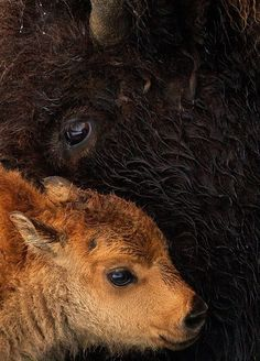 earthandanimals: Bison Calf Photo by Tin Man Lee mommy Buffalo Animal, Baby Buffalo, Cute Baby Animals, Farm Animals, Animals And Pets, Animal Babies, Wild Animals, Wildlife Photography, Animal Photography