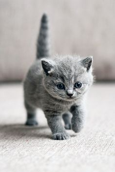 Kitten wallpaper for your iPhone from Everpix Kittens Cutest Baby, Cute Baby Cats, Kittens And Puppies, Cute Cats And Kittens, Grey Kitten Wallpaper, Baby Animals, Cute Animals, Amor Animal, Tier Fotos