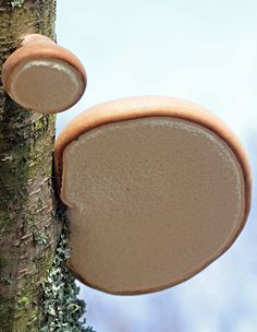 Birch Brackets - fungi ~ I also thought it should look down to find mushrooms, not upwards! Ha, ha, ha