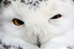 Source: Flickr / generalstussner  #snowy owl