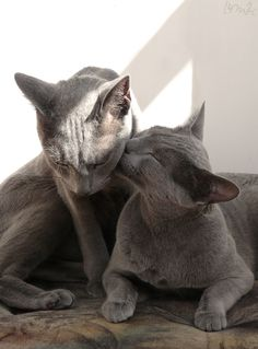 Russian Blue Cats Kittens My photography of our 2 cats. - Sweet kiss for her brother. Beautiful Kittens, Cute Cats And Kittens, I Love Cats, Cool Cats, Chartreux Cat, Nebelung, Blue Cats, Grey Cats, Russian Blue Kitten