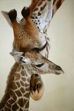 Momma and Baby Giraffe | Baby giraffe and mom | grr-affe's !! oh how I love them