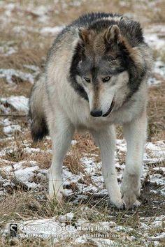 Beautiful Wolves, Beautiful Boys, Animals Beautiful, Cute Animals, Tamaskan, Wolf Population, Wolf Husky, Wolf Photos, Game Design