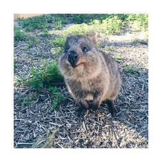 Hey there little fella! Look at this cute little cheeky Rottnest resident quokka greeting us with a smile  #rottnestisland #theperthfectescape #thefunexperth by moricalim http://ift.tt/1L5GqLp