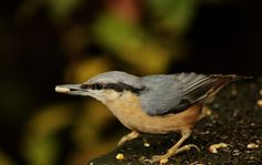 Nuthatch  Saw one like this today! Nuthatches, Bird Feathers, Beautiful Birds, Gardens, Backyard, Pets, Animals, Patio, Animales