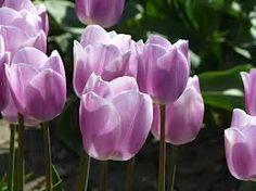 Google Image Result for http://0.tqn.com/d/gonw/1/0/u/I/-/-/lavender_tulip_closeup.jpg