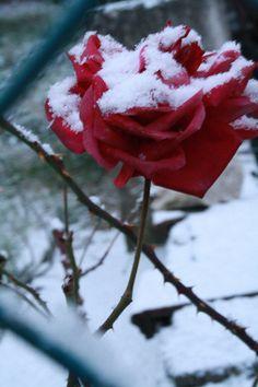 red rose white.