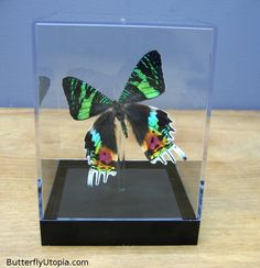 Rare-Butterfly