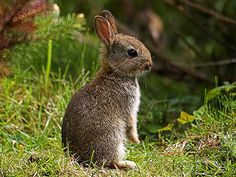 Young wild rabbit - photographed in the late spring of 2005 by myself in the…