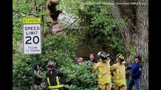 A bear falls from a tree in Colorado after being tranquilized. (Matt Stensland/Steamboat Pilot & Today)