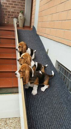 Basset hound ramp. Great for their short legs.