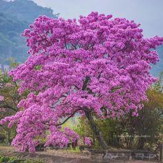Na floração dos ipés a vida sorri com seu desabrochar!!Anabel Diequisisque Beautiful Nature Pictures, Amazing Nature, Beautiful Landscapes, Beautiful World, Beautiful Flowers, Unique Trees, Colorful Trees, Autumn Scenery, Autumn Trees