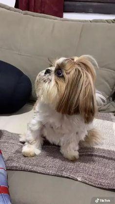Baby Shih Tzu, Shih Tzu Puppy, Shih Tzus, Cute Baby Puppies, Shitzu Puppies, Cute Dogs Breeds, Dog Breeds, Corte Shitzu, Perro Shih Tzu