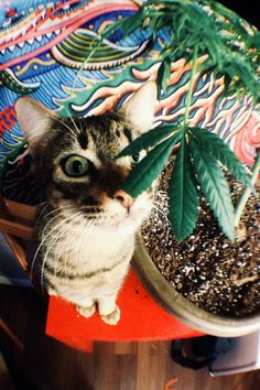 Say meow and save money; grow your own marijuana and make small edible delicious marijuana candies. MARIJUANA - Guide to Buying, Growing, Harvesting, and Making Medical Marijuana Oil and Delicious Candies to Treat Pain and Ailments by Mary Bendis, Second Edition. Just $2.99 for great e-book! www.muzzymemo.com