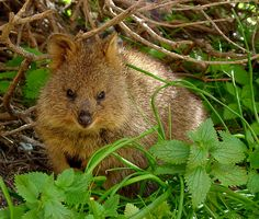 Quokka Family About The Size Of A Domestic Cat Quokka Are Found - 15 photos that prove quokkas are the happiest animals in the world