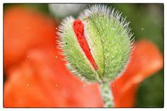 Bright colours. Oriental Poppy.