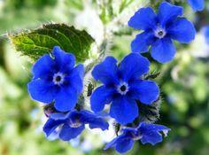 Heirloom 100 Seeds Anchusa Dyer's Bugloss Summer by seedsshop