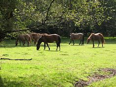 New Forest ponies, Hampshire, England