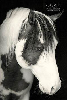 What a beautiful black and white of this Paint Horse.