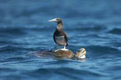 Il supporto - L'uccello marino brown booby (o tonta marrone) si appoggia sul guscio di una tartaruga nelle acque vicino la spiaggia di Los Cobanos, 84 chilometri a ovest di San Salvador (Afp/Cabezas)