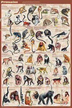 Primatas Mamíferos Laminado Sala De Aula Ciências Da Educação gráfico Poster 24x36