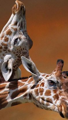 Please scratch my neck? Giraffe waits in hope. Animals And Pets, Baby Animals, Funny Animals, Cute Animals, Giraffe Art, Cute Giraffe, Funny Giraffe, Giraffe Pictures, Cute Animal Pictures