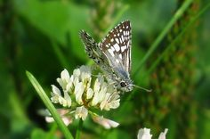 Beautiful Checkered Skipper