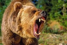 grizzly bear attack - this is the ultimate man eater.will crush bones and eat them along with your clothes .takes a serious rifle to even touch a bear attack Photo Ours, Photo Animaliere, Nature Animals, Animals And Pets, Cute Animals, Wild Animals, Baby Animals, Bear Pictures, Animal Pictures