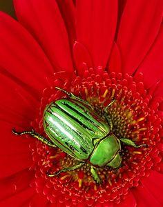 Beautiful green beetle
