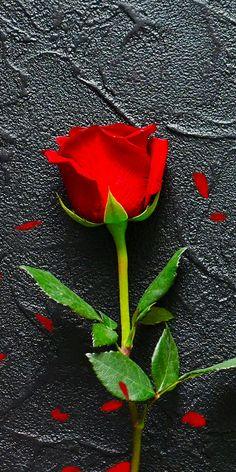 Wallpaper Nature Flowers, Rose Flower Wallpaper, Beautiful Flowers Wallpapers, Beautiful Nature Wallpaper, Flowers Nature, Good Morning Rose Images, Good Morning Flowers Gif, Beautiful Love Pictures, Beautiful Gif