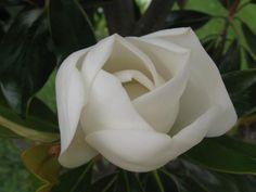 Magnolia flower, Little Gem
