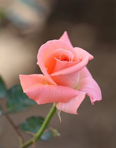 Beautiful Rose Flowers, Pretty Roses, Love Rose, Amazing Flowers, Beautiful Flowers, Lavender Roses, Yellow Roses, Pink Roses, Rose Reference